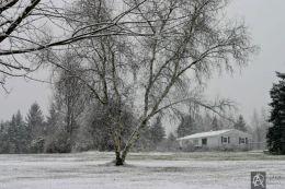 snow birch.