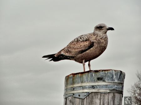 mean mugging seagull.