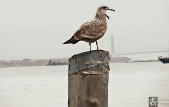 spotted seagull.